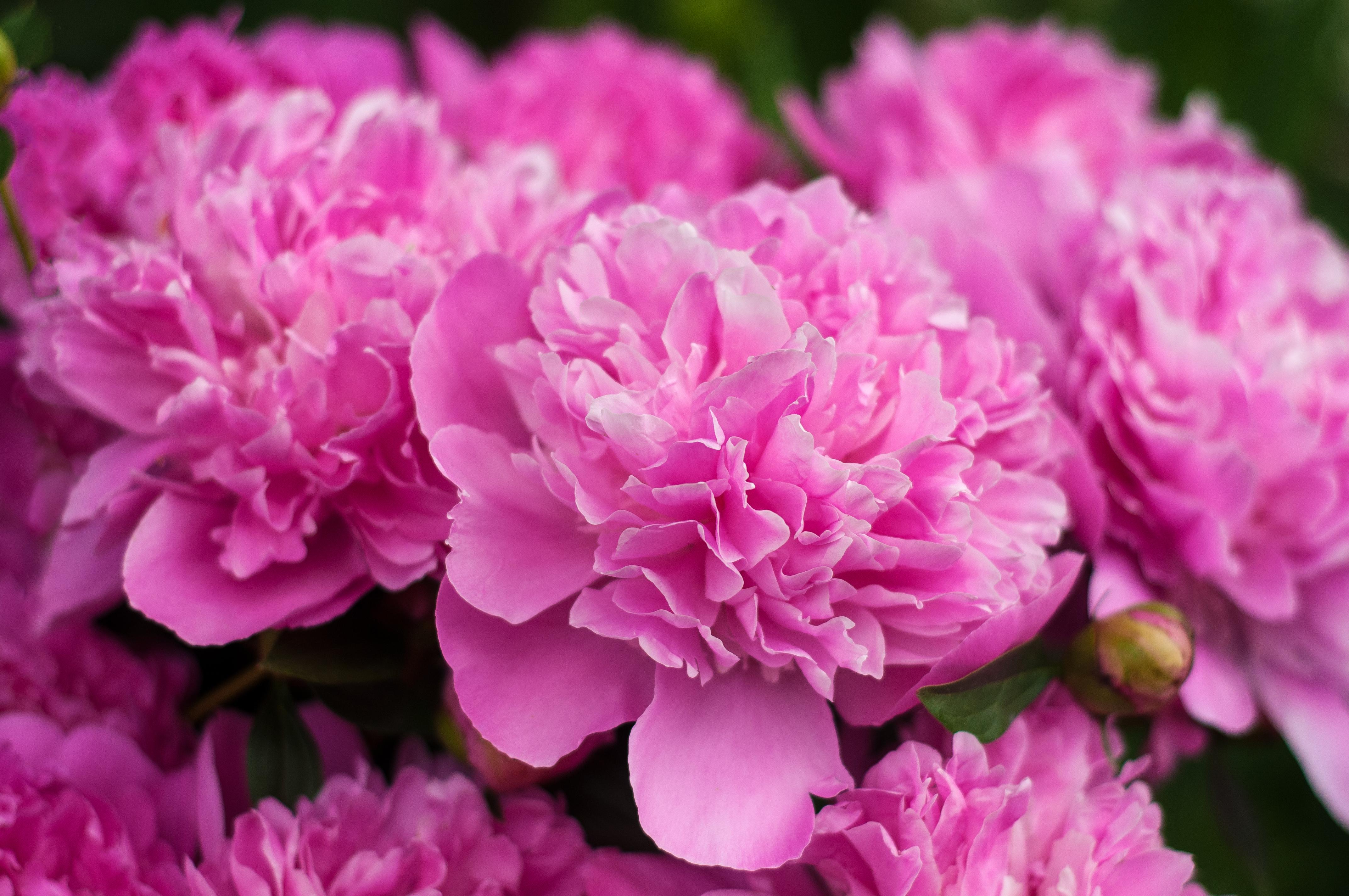 Божур - цветето, което прeчиства организма