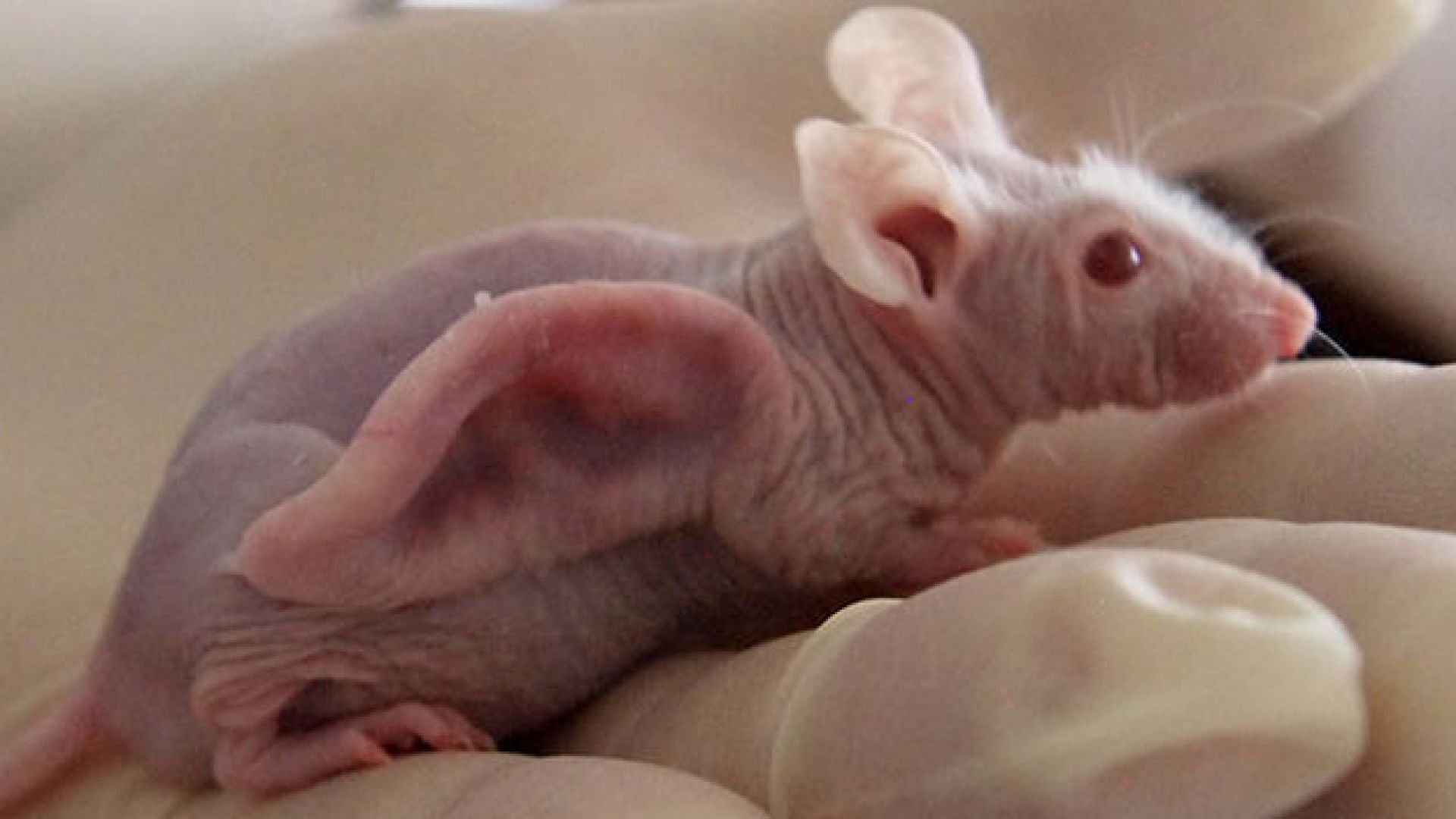 Създават хибриди между човек и мишка