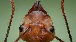 "Откриха нов вид ""експлодиращи"" мравки"
