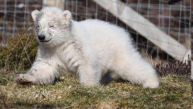 Избраха име на първото от 25 г. бяло мече, родено в UK