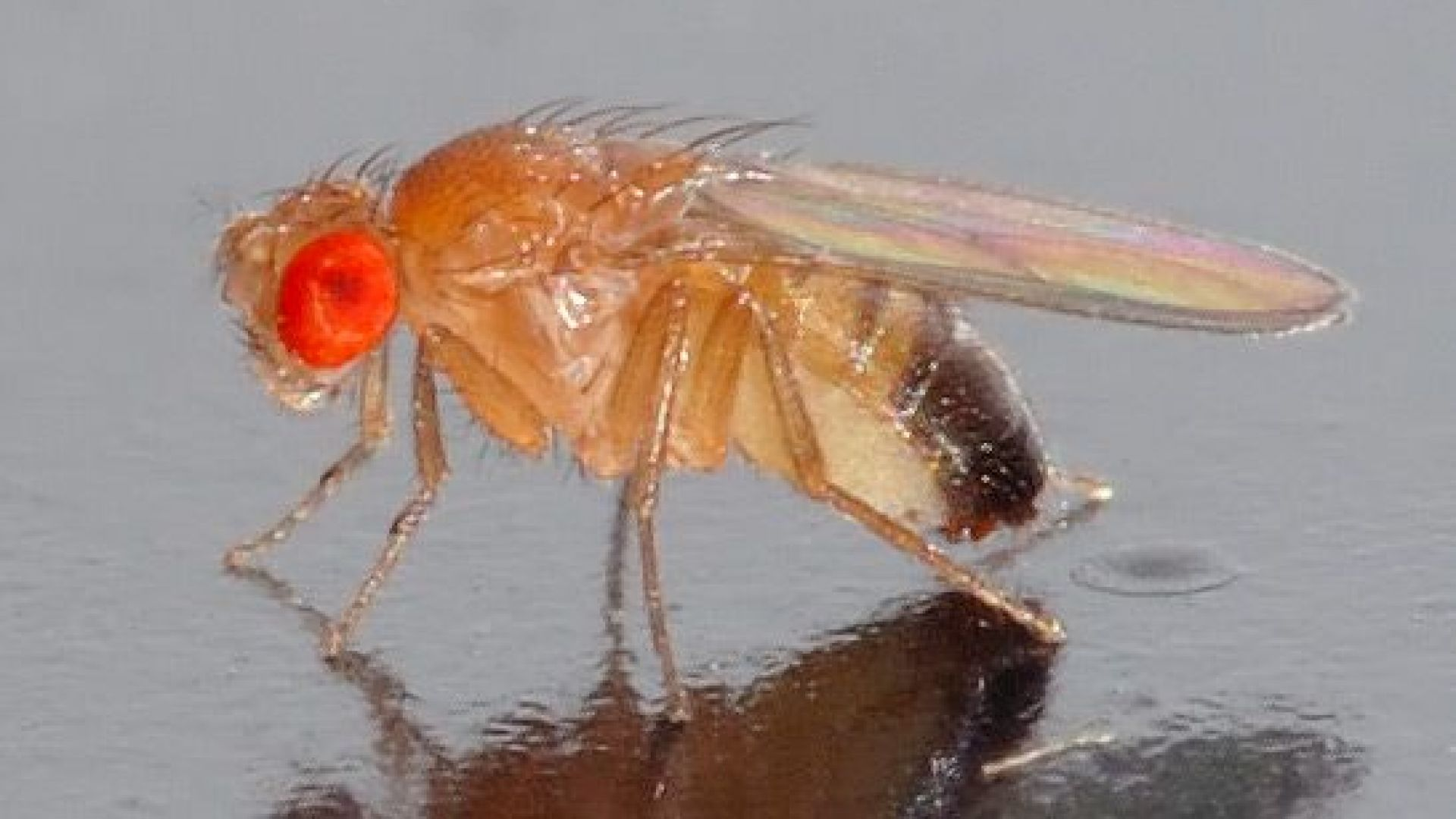 Плодовите мушици предпочитат оргазмите пред алкохола
