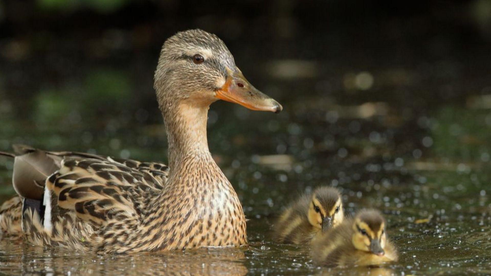 Над 57 000 птици унищожиха в Добричко село