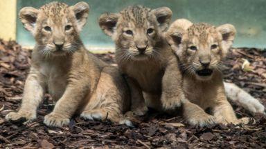Показаха за първи път трите новородени лъвчета в зоопарка във Франкфурт