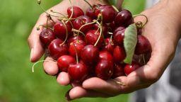 По 50 стотинки за килограм ще получават берачите на череши