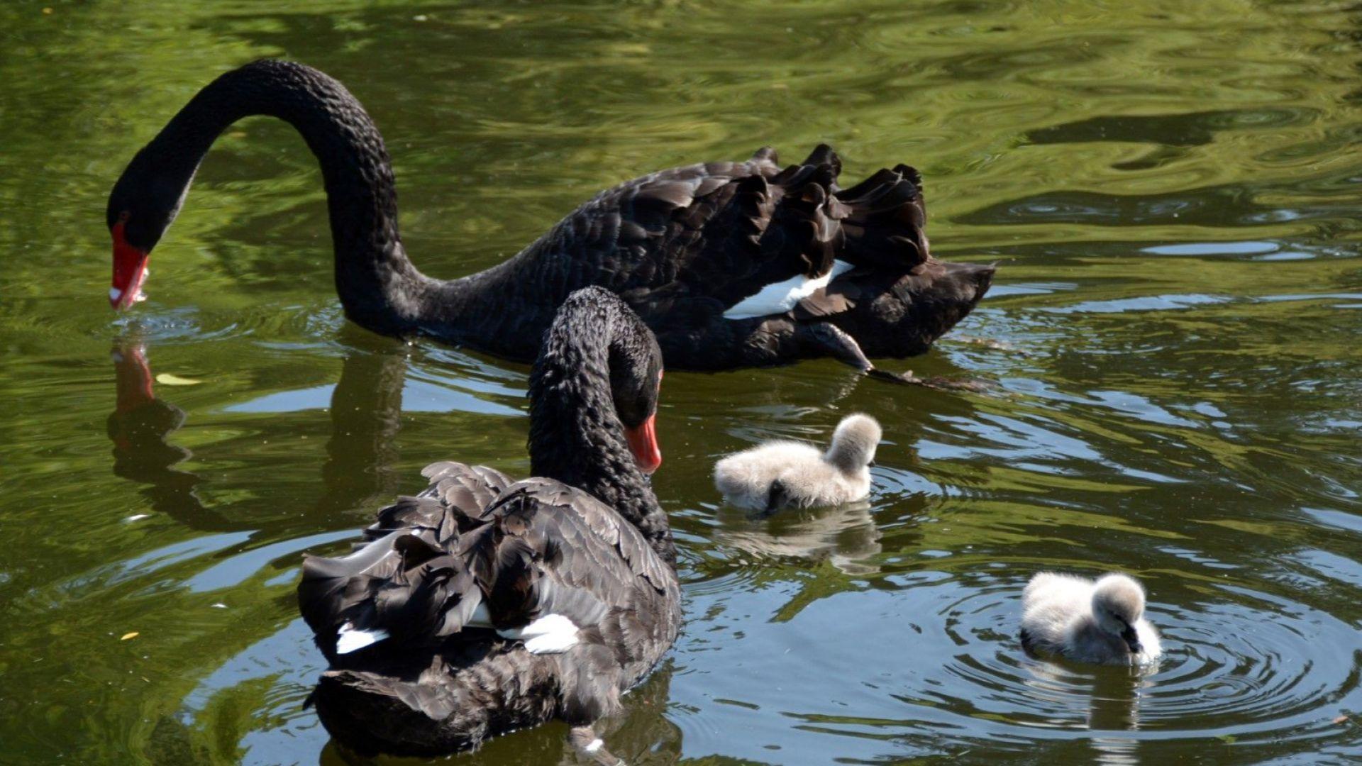 Двойка холандски черни лебеди се радва на потомство (снимки)