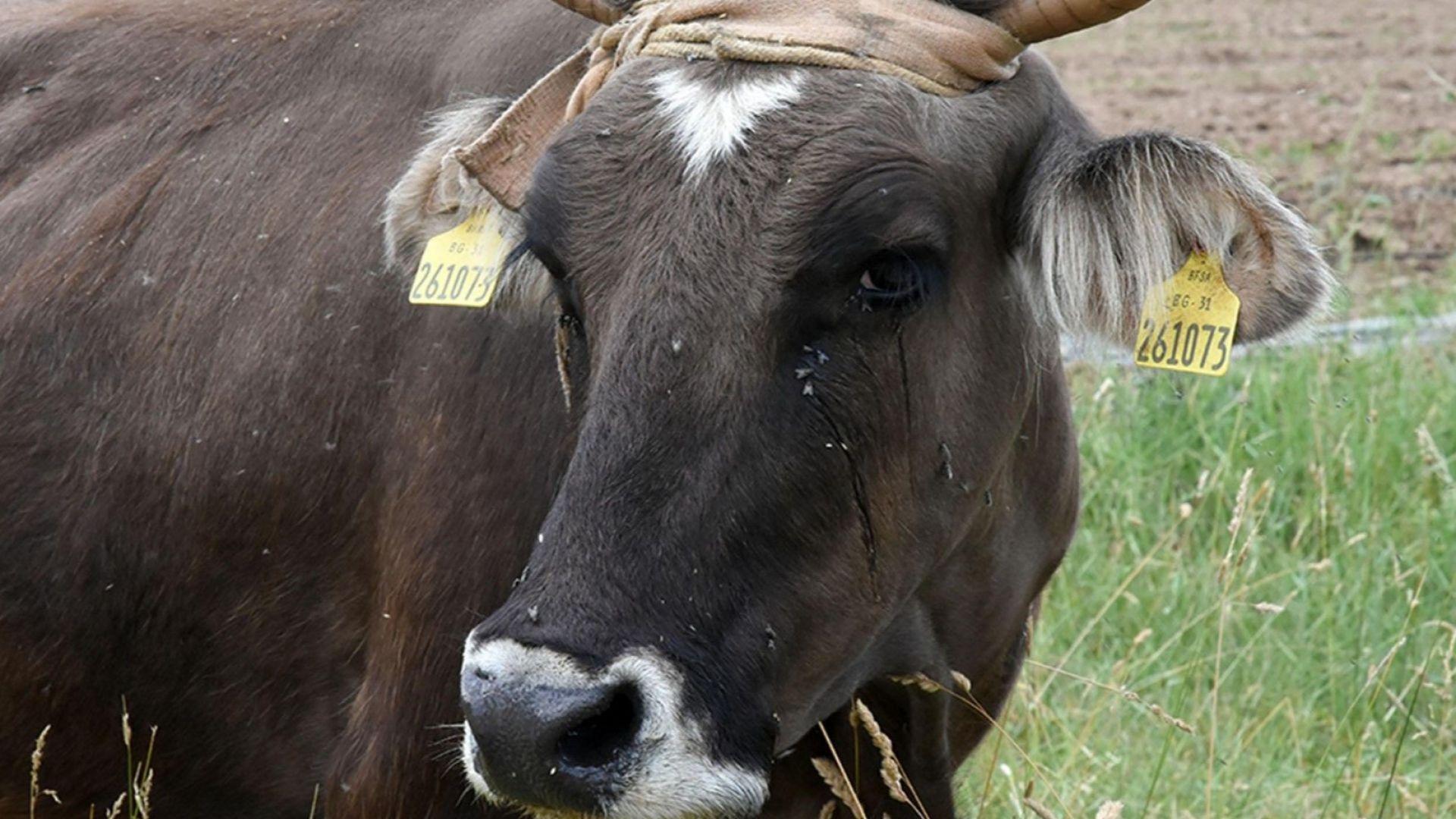 Мълния е поразила стадо крави в Рила