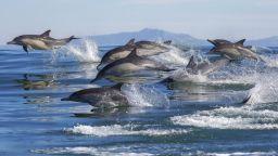 1500 делфина следват двойка китове (видео)
