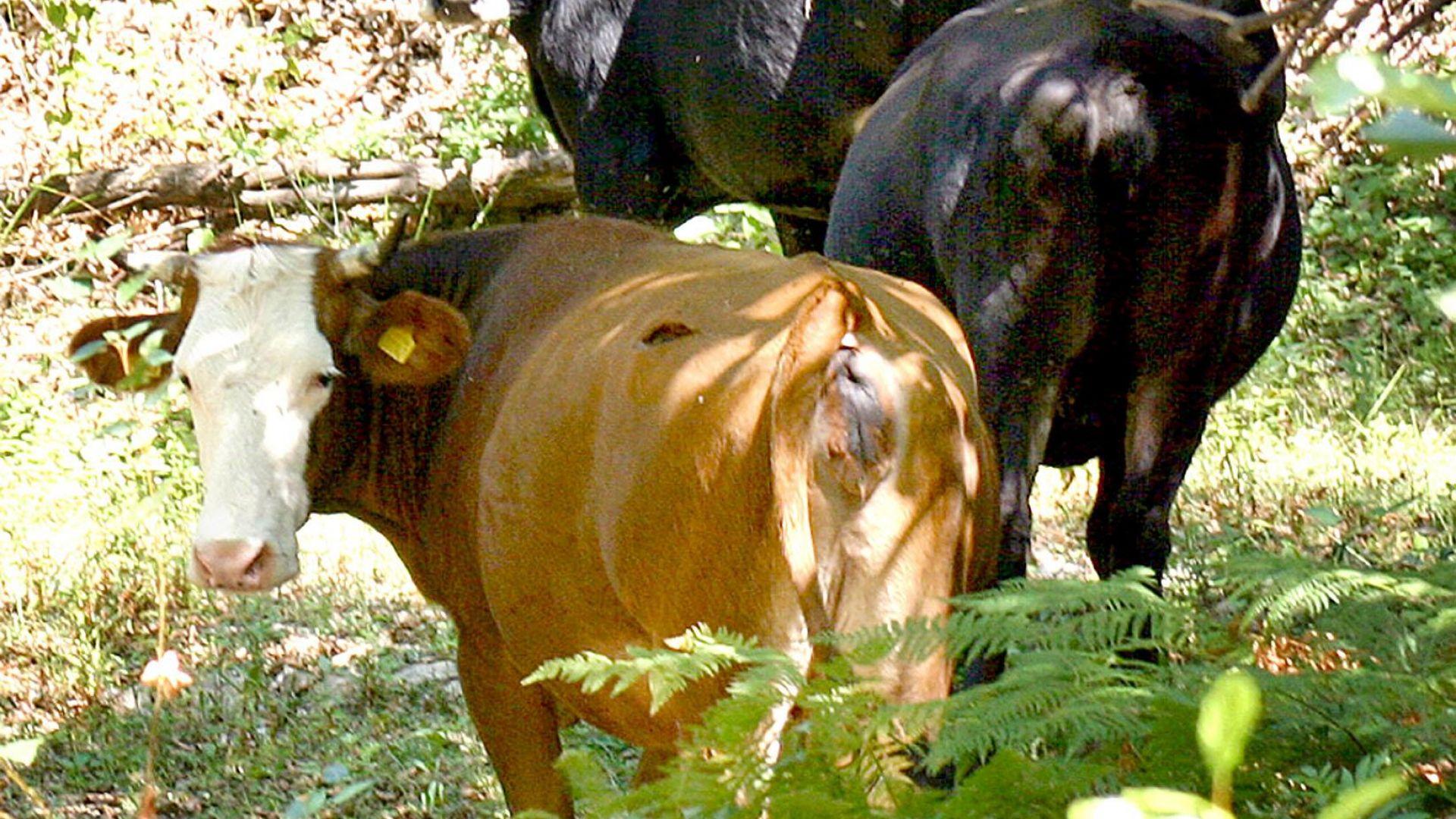 Откриха туберкулоза по говедата в крафеверма край Стрелча