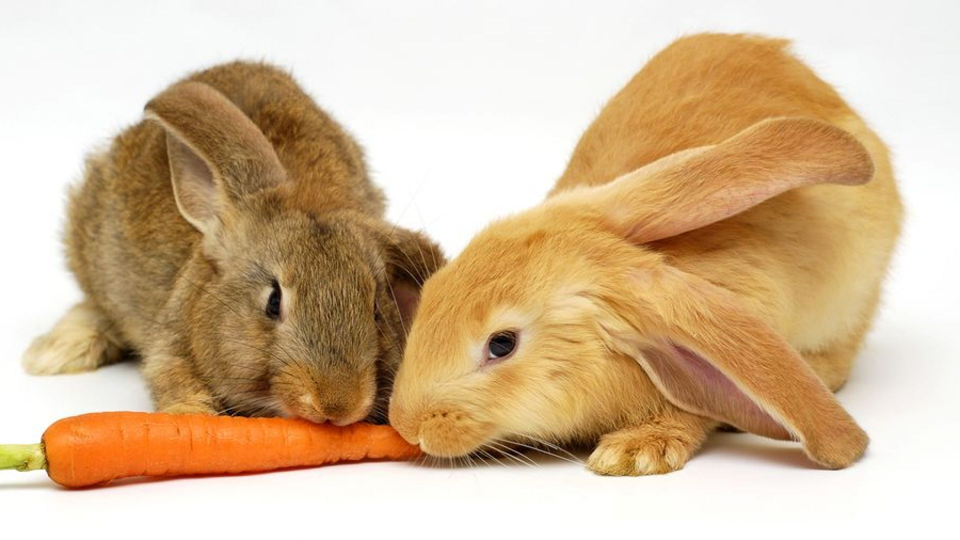 Морковите са вредни за зайците