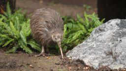 Нова Зеландия ще избие всички плъхове, белки и опосуми на територията си
