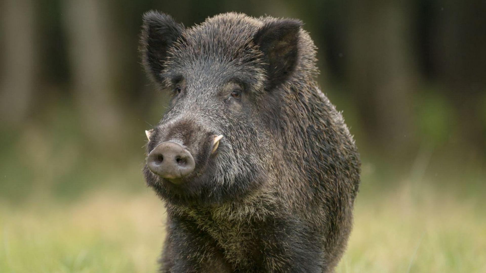 Ловците да внимават, върлува чума при дивите свине до границата ни