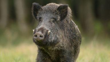 Откриват сезона за групов лов на дива свиня