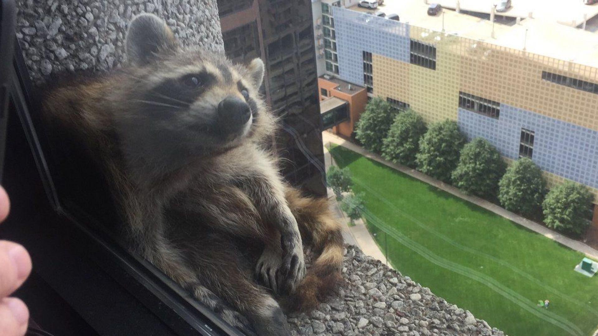 Енот изкачи небостъргач в Минесота (видео)