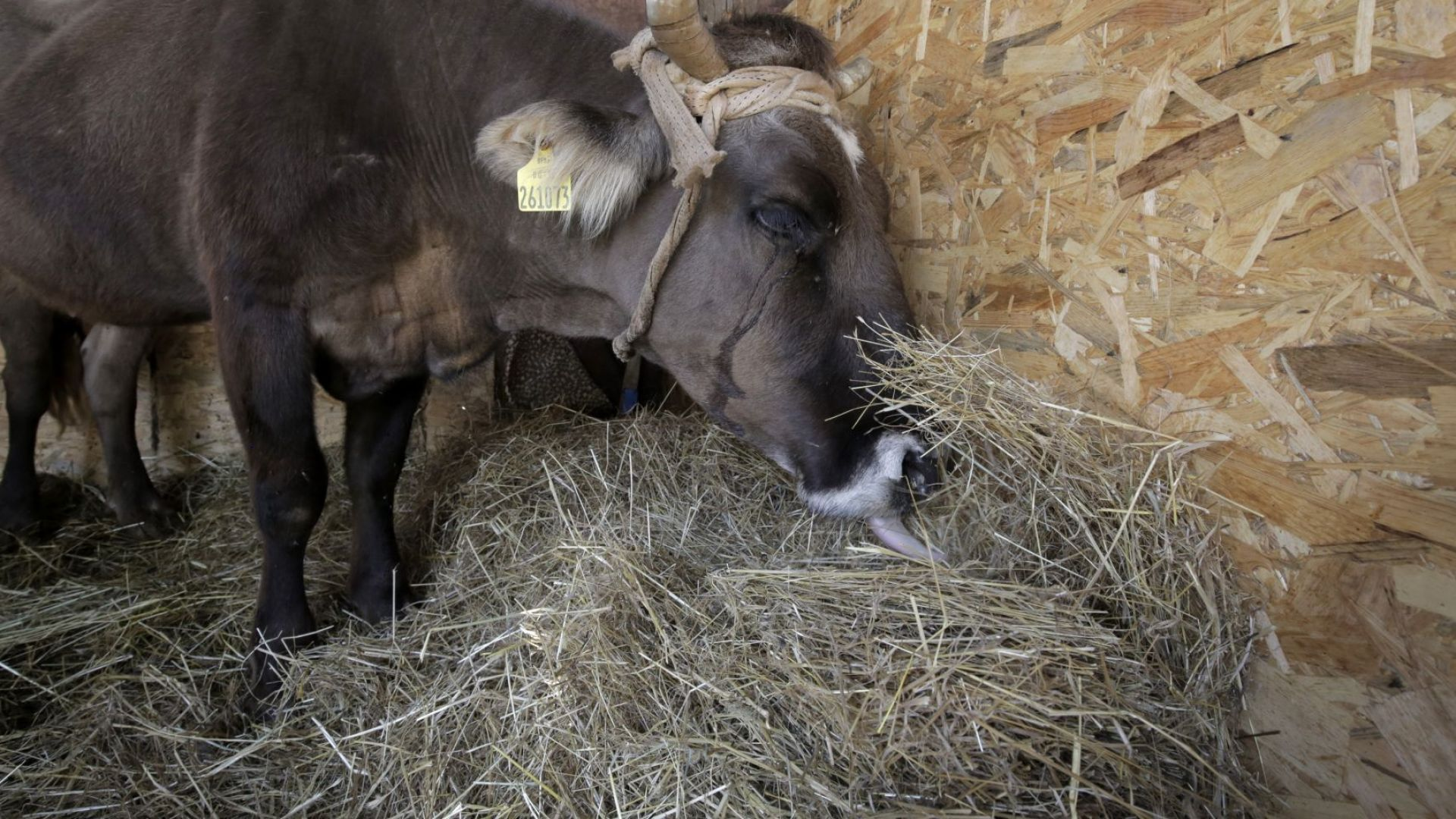 Помните ли Пенка? Световноизвестната българска крава роди Джон