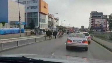Крави тръгнаха по улиците на София