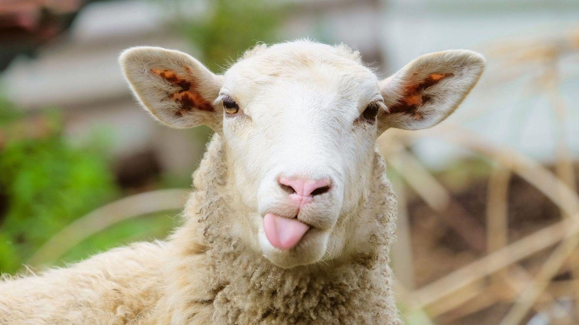 Започна световният шампионат по стригане на овце (видео)