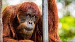 Най-възрастният орангутан в света умря в австралийски зоопарк