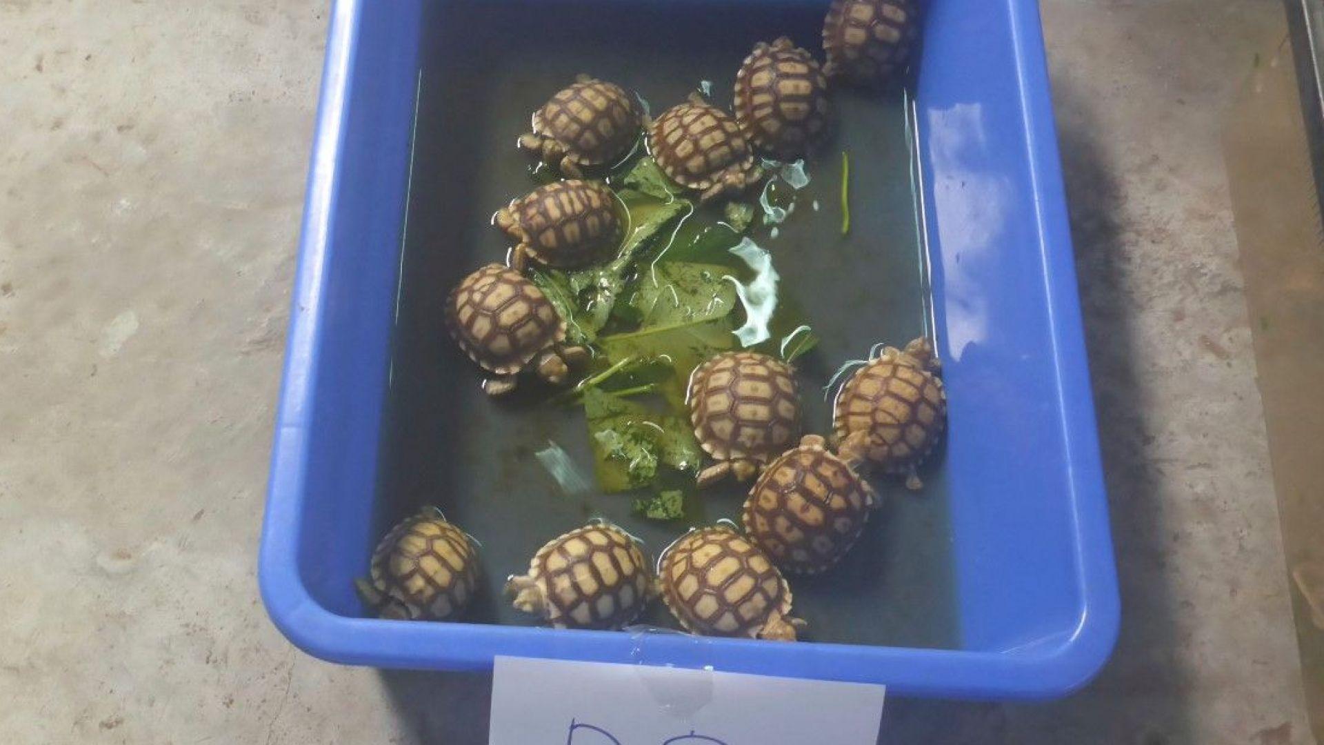 Малко костенурки спасени от полицията в Малайзия