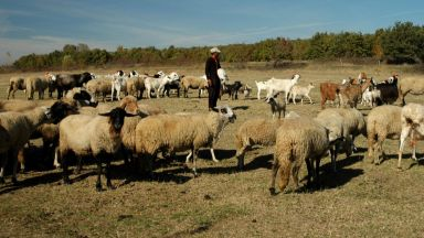 Чума плъзна по овце и кози в Ямболско