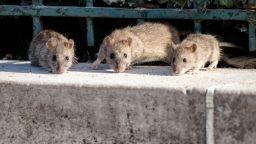 Плъхове с размер на котка атакуваха шведски град