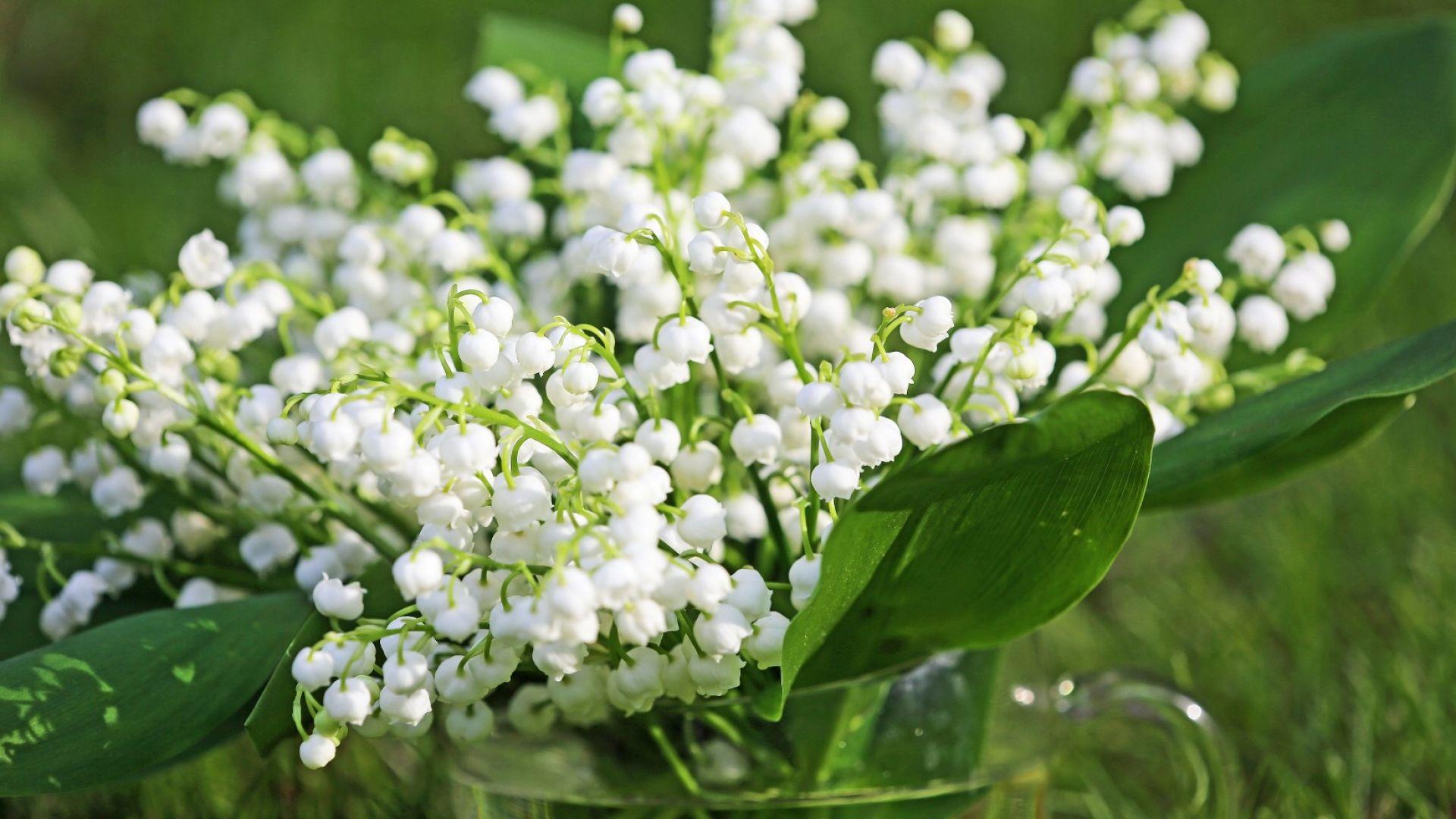МОСВ забрани брането на риган, момина сълза и още 22 растения