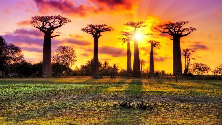 Баобабите в Африка загиват
