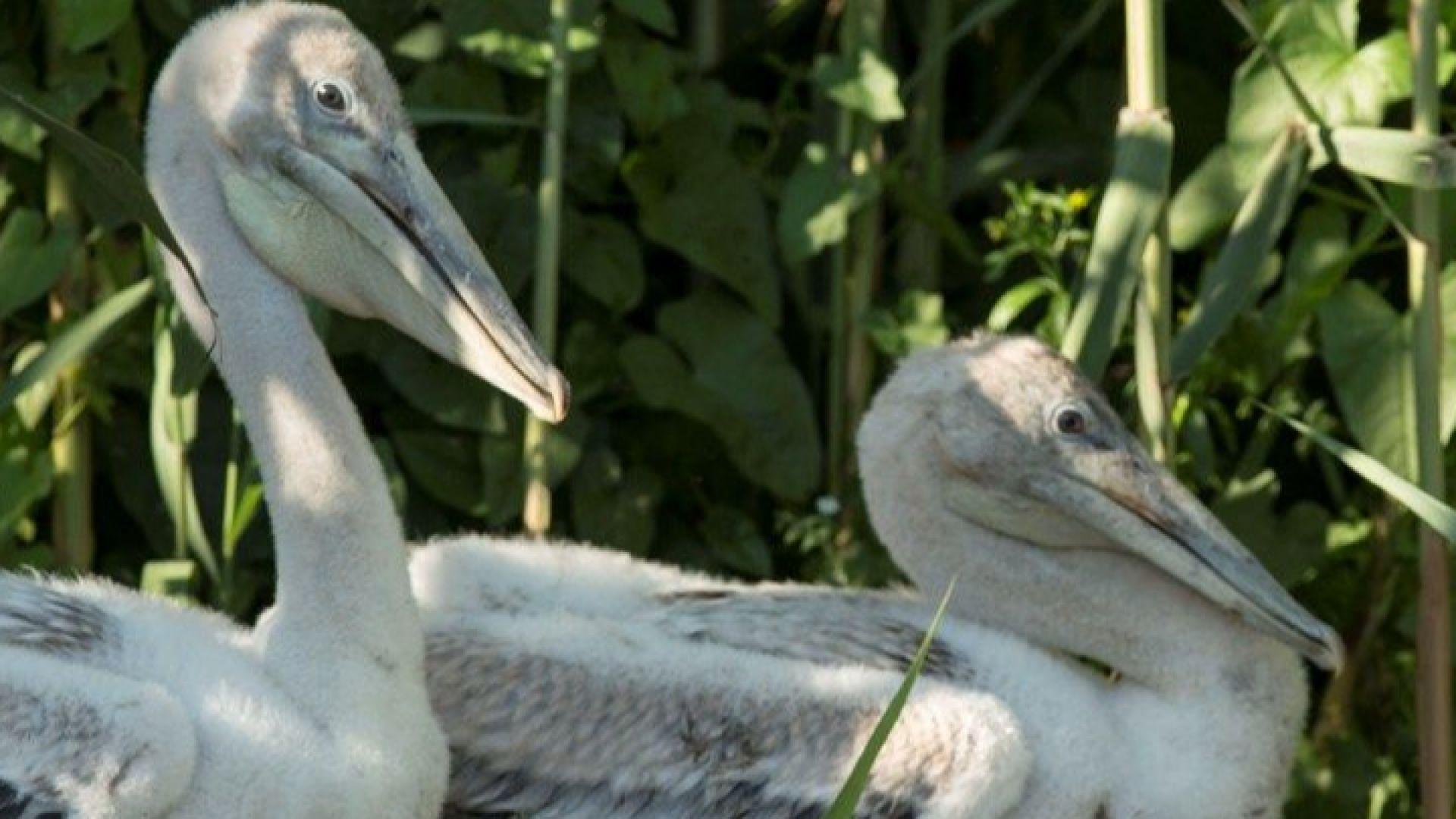 """Къдроглавите пеликанчета тръгнаха на """"детска градина"""""""