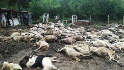 Ветеринари пак опитват да вземат проби от животни в Болярово, в Шарково - блокада