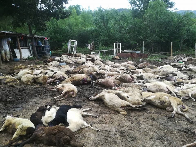 Цялото стадо на Венко Георгиев е избито
