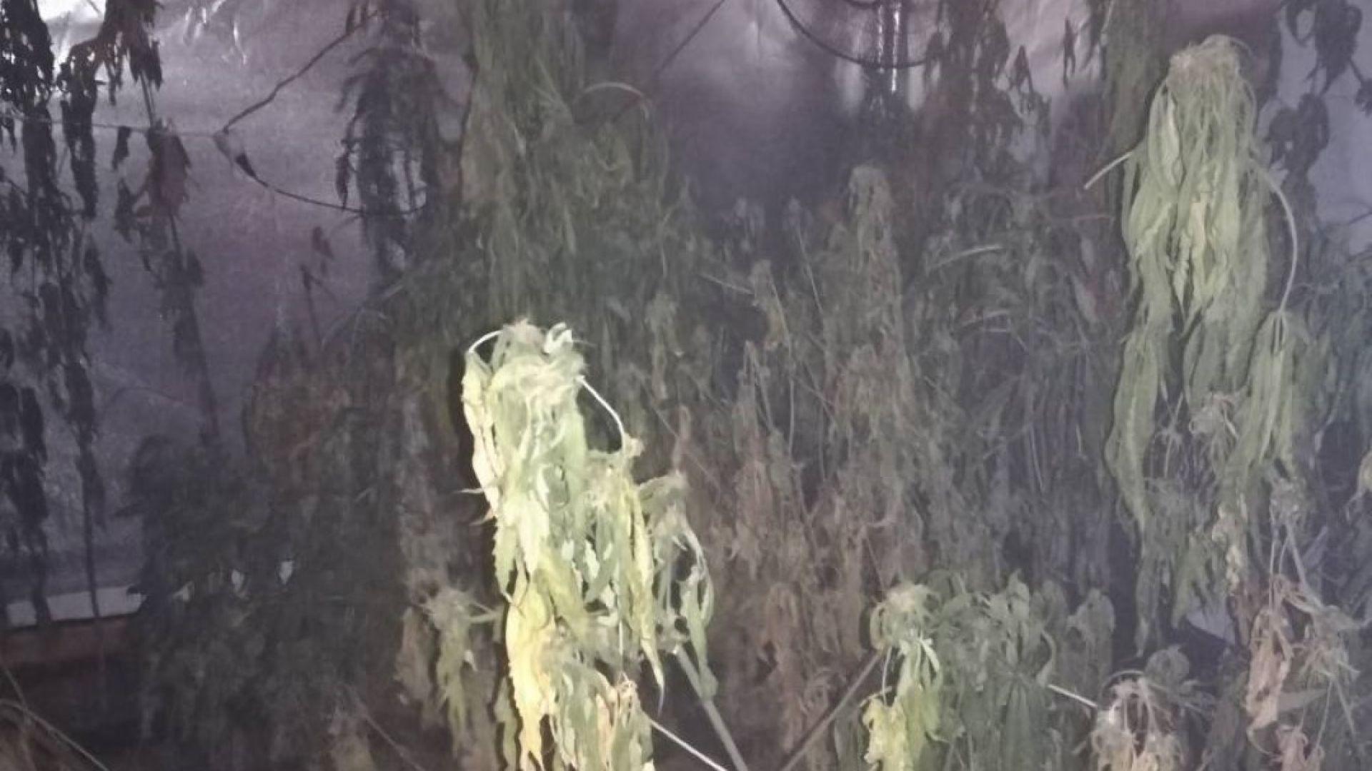 МВР разби наркооранжерия близо до София