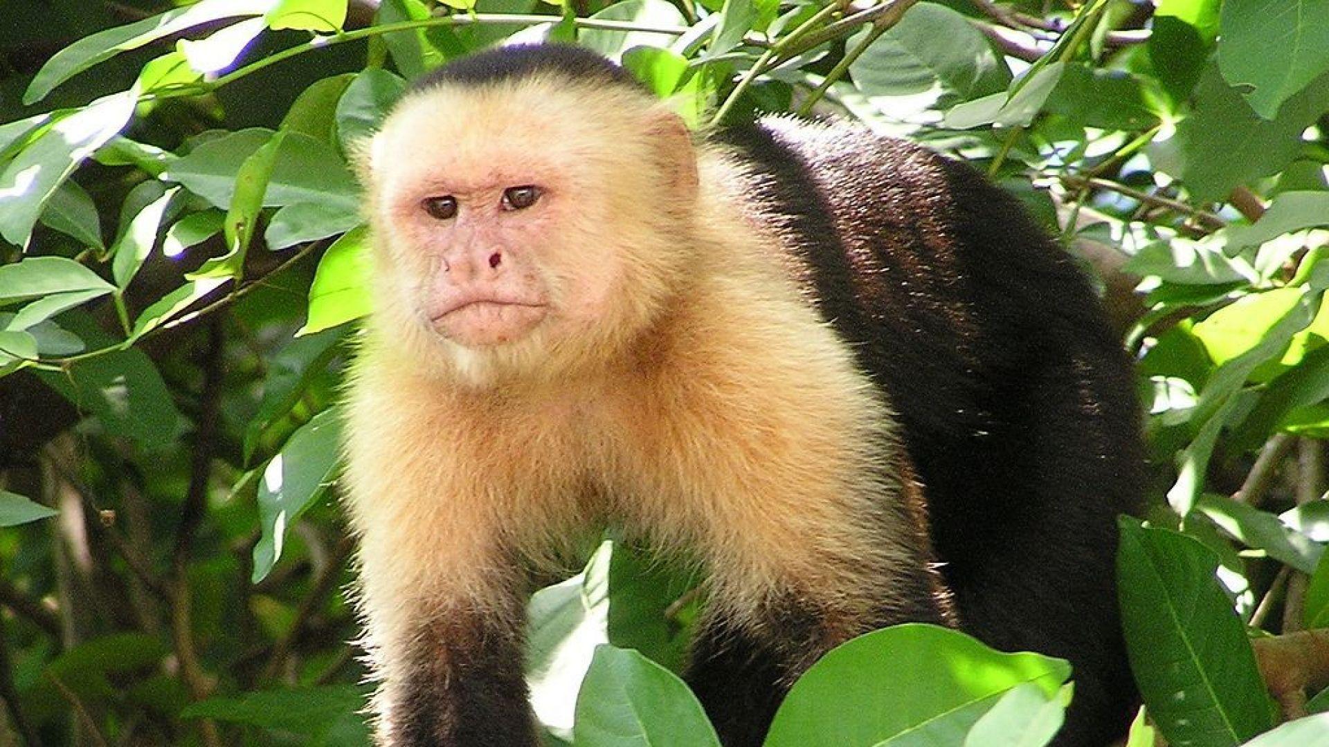 """Вид маймуни влезе в своя """"каменна епоха"""""""