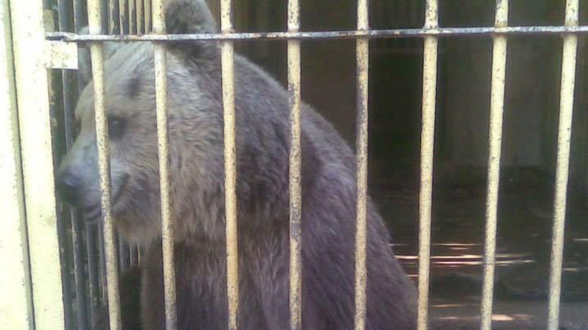 Мечок беглец вдигна на крак заопарка в Димитровград
