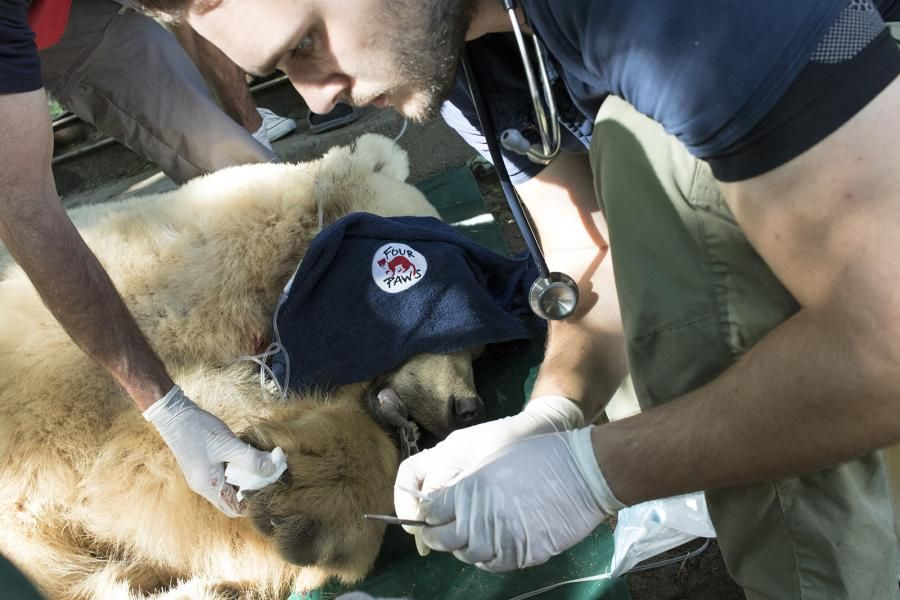 Подготовка за 30-часовия път на мечока
