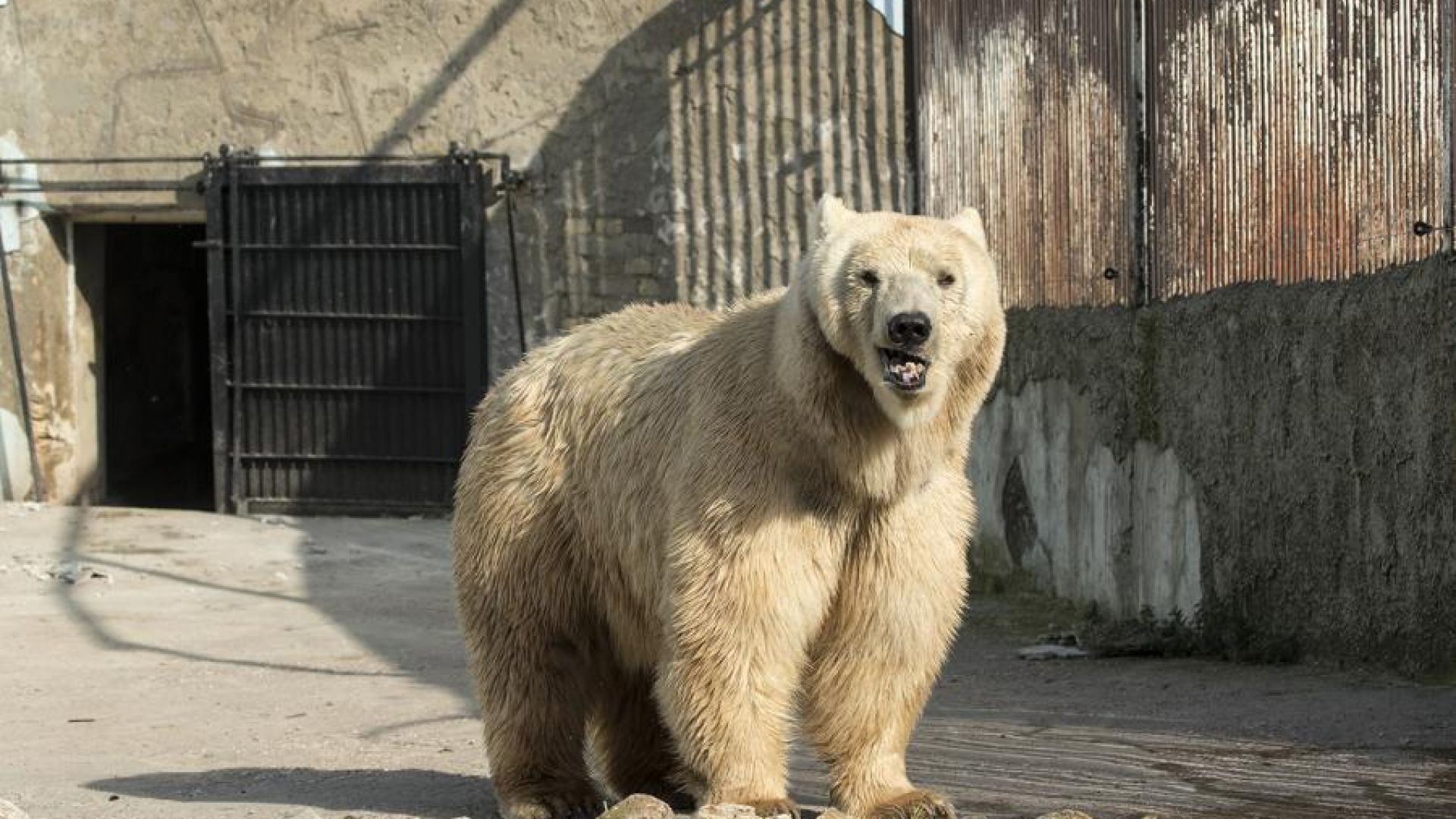 Последната циркова мечка в Сърбия отиде в Швейцария