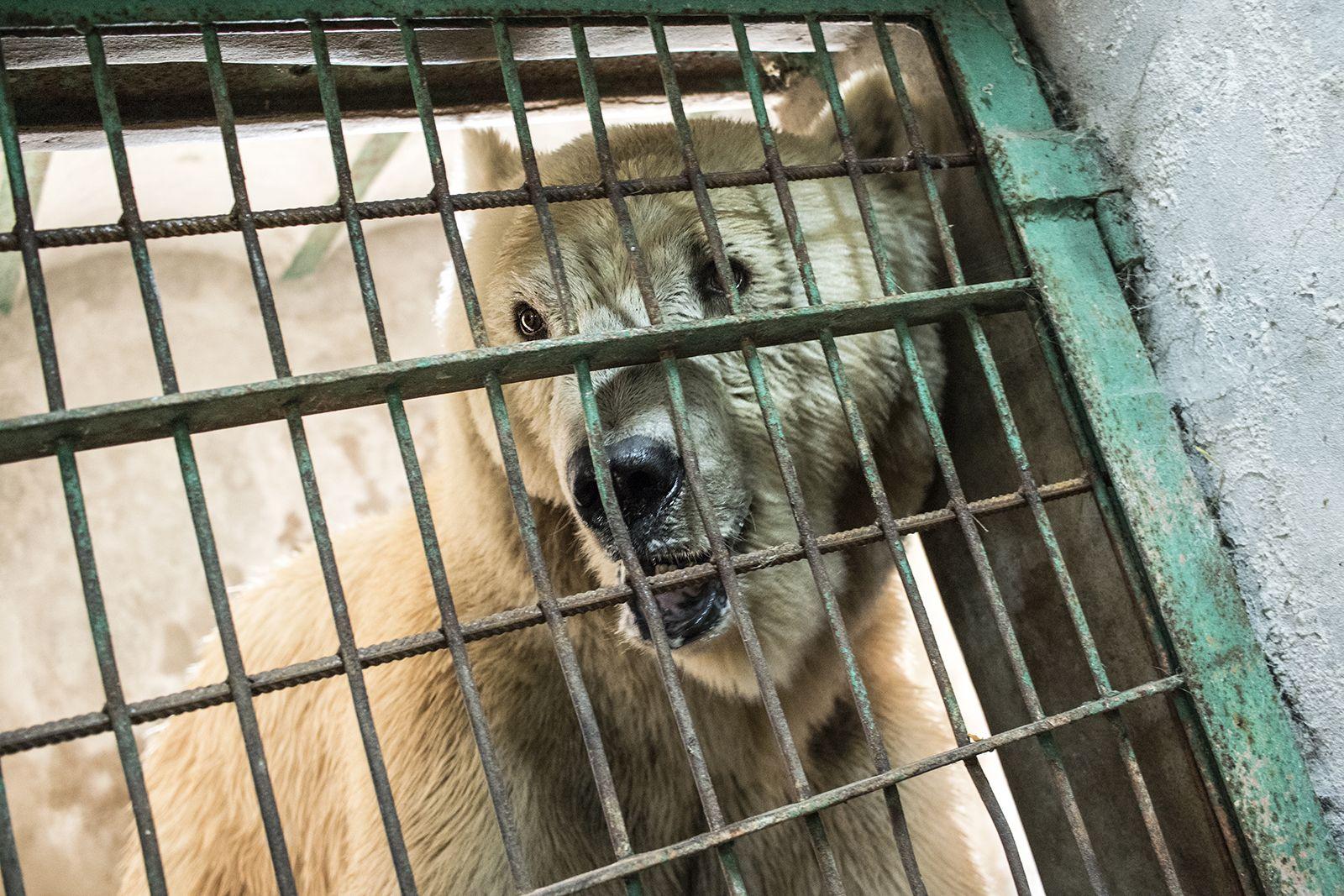 Единадесетгодишният Напа, роден в зоопарк и прекарал почти целия си живот зад решетки