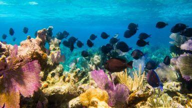 Коралите в бариерния риф - застрашени от избелване