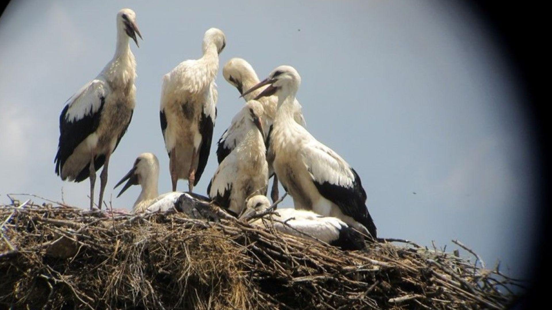 Рекорд! Седем щъркелчета се родиха в едно гнездо в село Великан