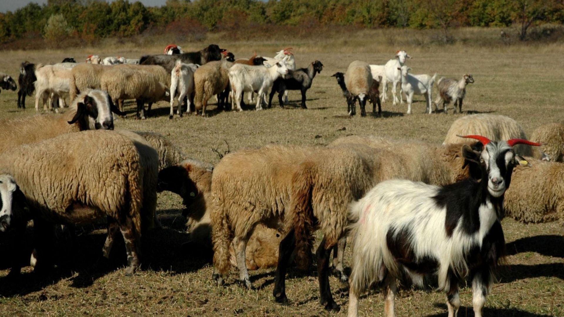 За първи път у нас и в ЕС са констатирани огнища от чума по дребните преживни животни