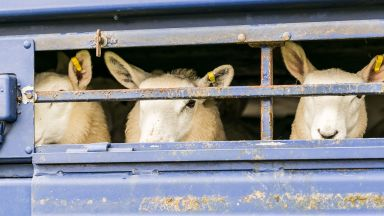 Полицията спря автомобили с овце за продан от заразените с чума райони