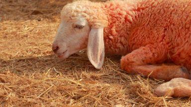 Борисов нареди създаване на оперативен щаб за огнищата на чума по животните