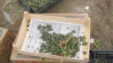 Разбиха лаборатория за марихуана във Варна, двама са в ареста