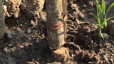 Вандали прерязаха новите дървета на Околовръстното в София