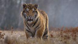 Тигри и лъв избягаха от зоопарк в Чехия, откриха ги на сянка