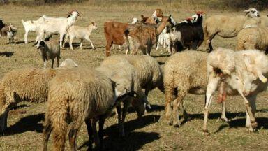 БАБХ: Нелегален транспорт на болно животно е донесло чумата в България