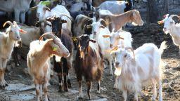 Животновъдни организации даряват животни на колегите си от засегнатите от чума райони