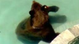 Жега в Калифорния - мечка се разхлади в басейн