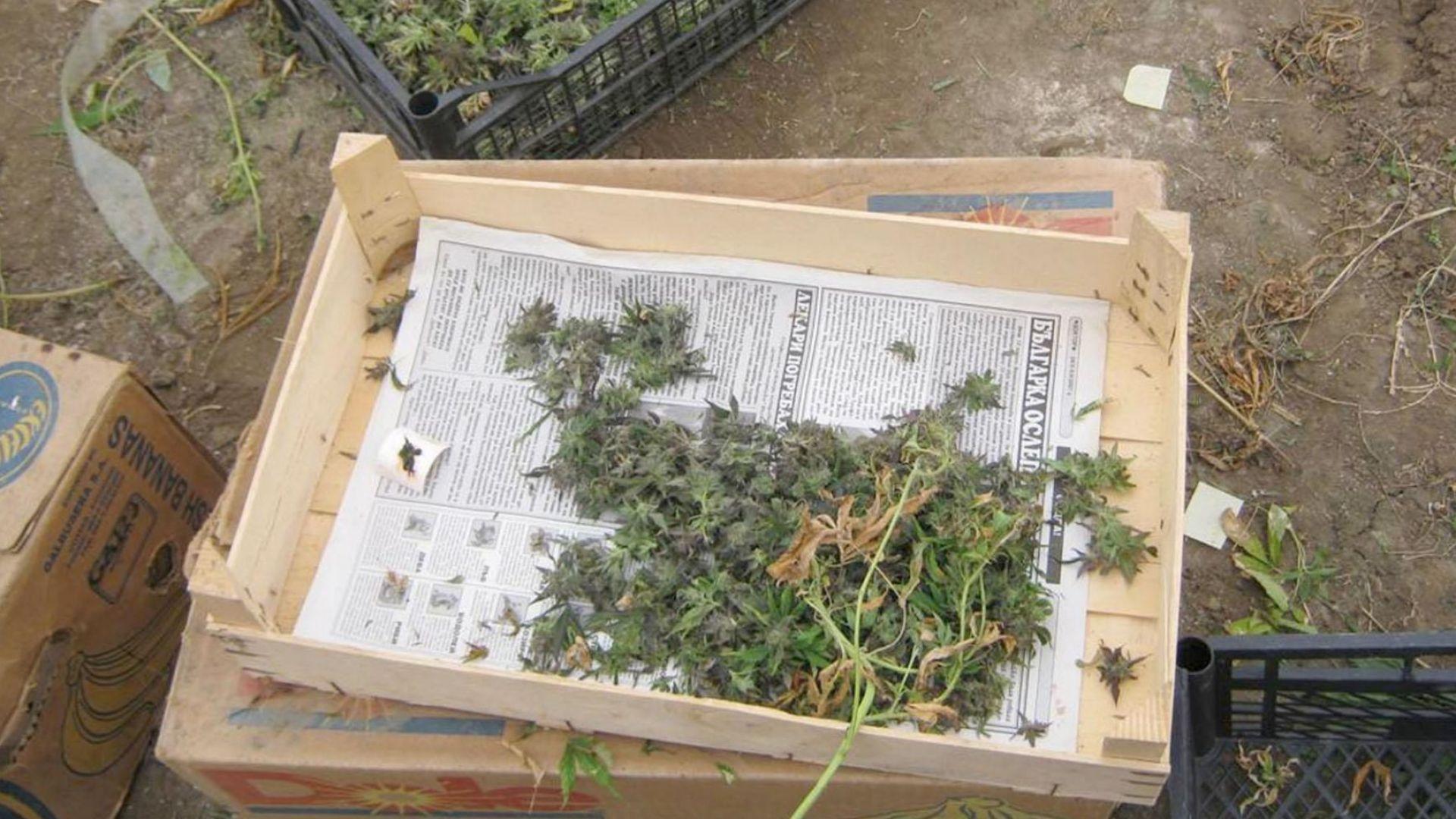 Близо 30 кг канабис иззеха полицаите от имот в село Страхилово