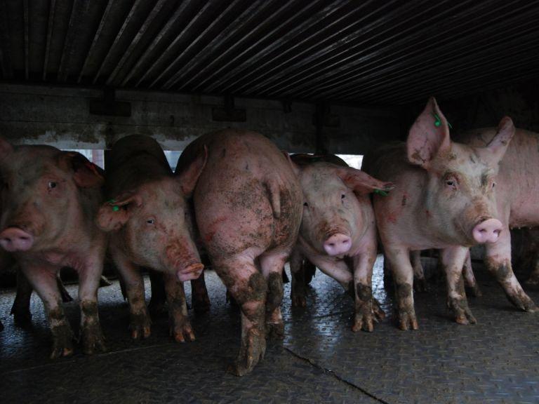 Умъртвяват 17 000 прасета в Николово заради чумата