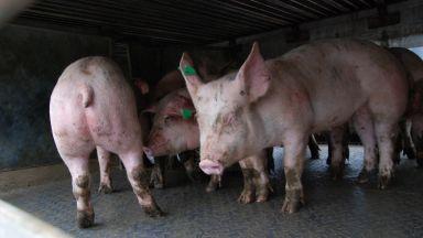 Затвориха Ришкия проход заради избягалите от обърнат ТИР прасета