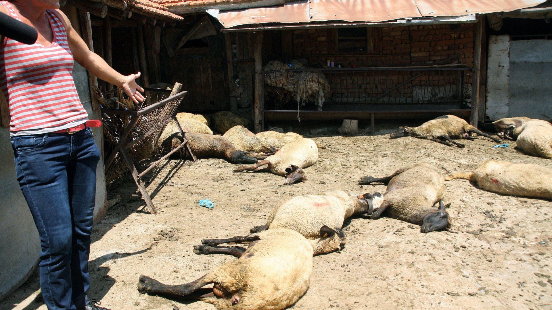 Втори ден отказват втора проба за стадо в Болярово